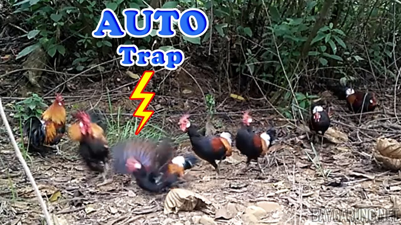 Top 4 the wild chicken trap easily