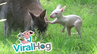 Albino Wallaby Joey Struggling to Climb into Mother's Pouch