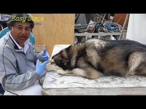 Sheru Doesn't Want His Bed Repainted   Alaskan Malamute   German Shepherd   Dog Got His Bed Back