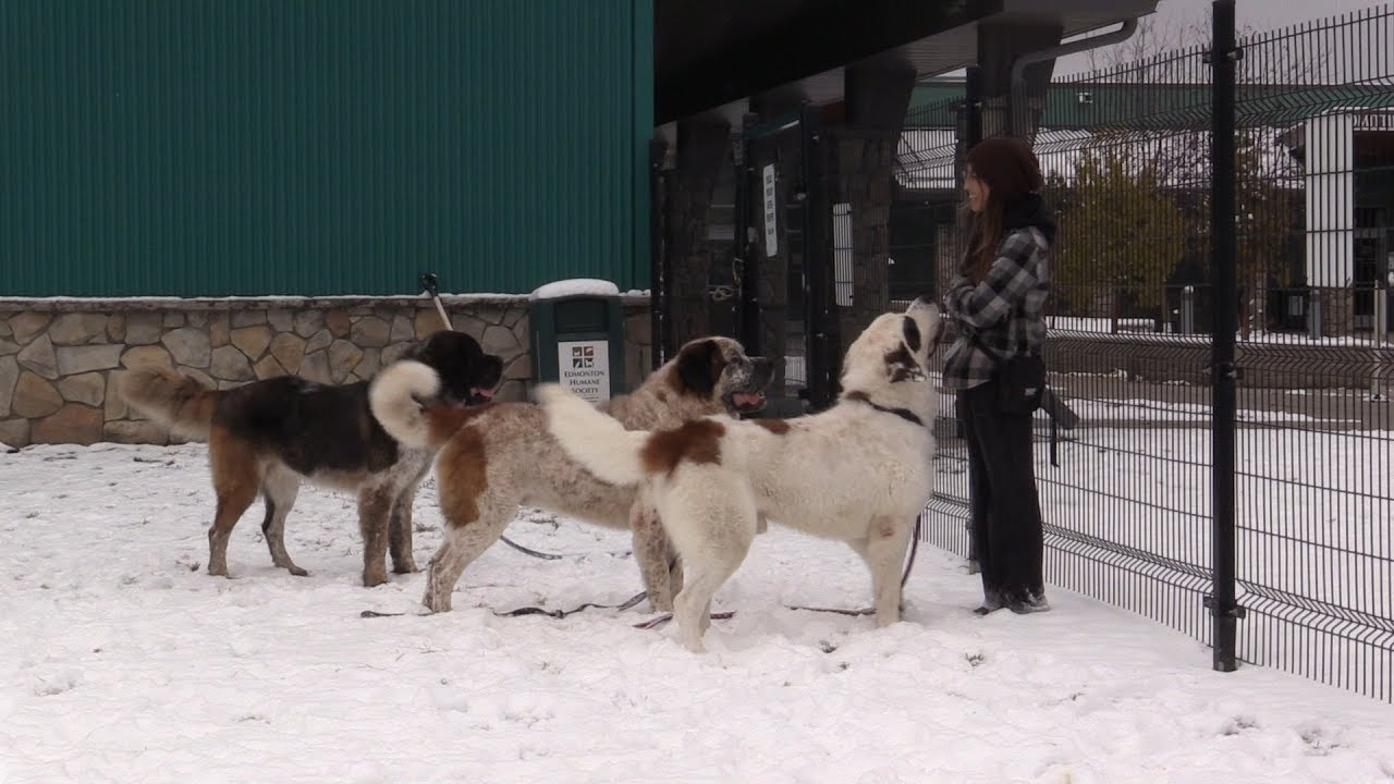 Three Bonded St Bernard Dogs Needing A Home Together Receive