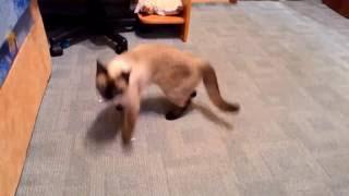 Кот выбирает что лучше: игрушечная собака или пакет/The cat chooses to play