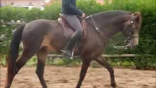 Verkaufspferd Feiticeiro, Lusitano-Hengst, Dunkelfalbe
