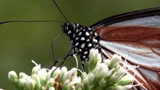 旅する蝶アサギマダラの食事