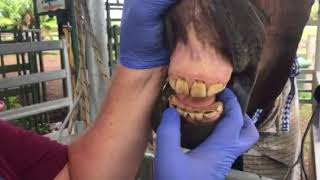 Having your horse's teeth checked at EVDS