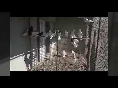 Армянские голуби в Севане🕊