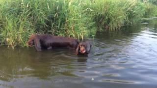 Суссекс спаниели на реке!