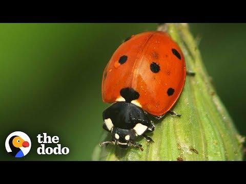 The Stunning Life Cycle Of A Ladybug | The Dodo