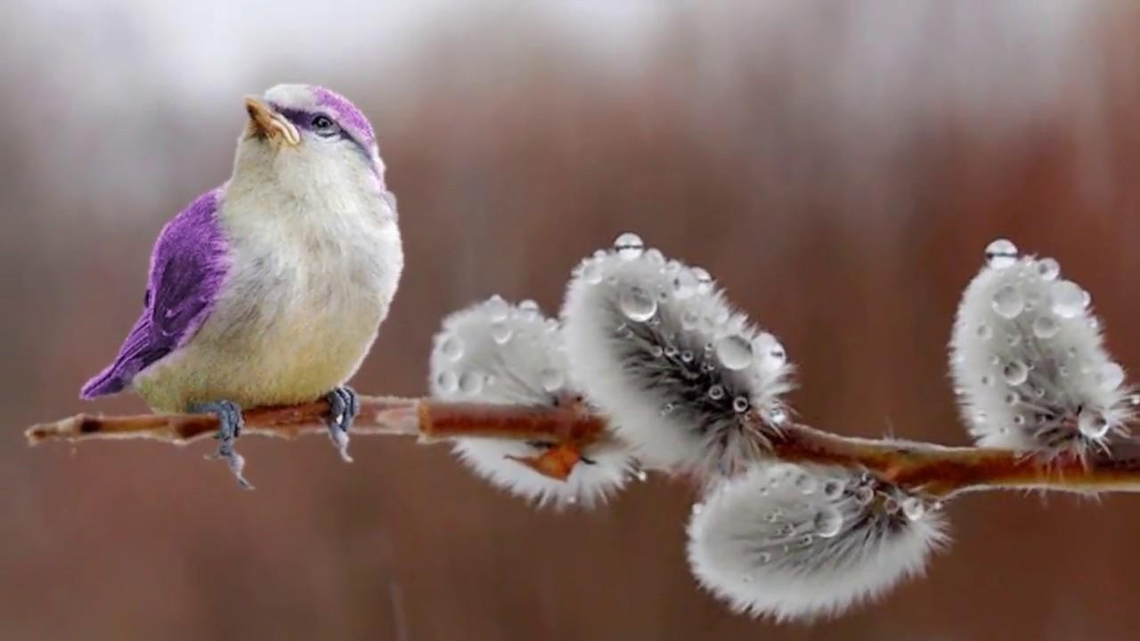 картинки ранняя весна верба и птички многолетний кустарник
