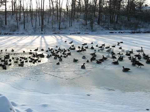 Ducks at Woodland Park Lake, Collinsville Illinois