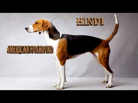 Everything about American Foxhound in Hindi