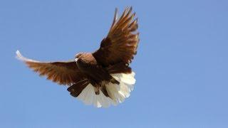 Polish Orliks High Flying Pigeons