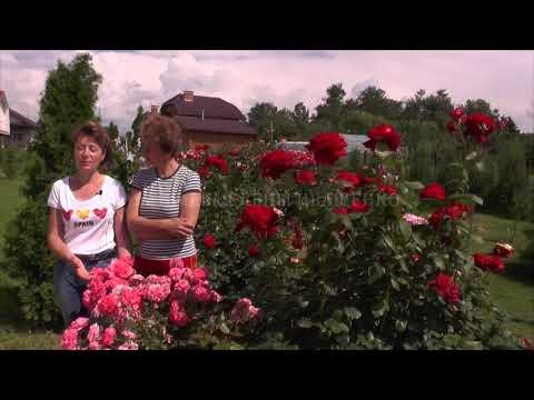 Цветение Розы Rosarium Uetersen, Super Grand Amore. Питомник Роз Иващенко.