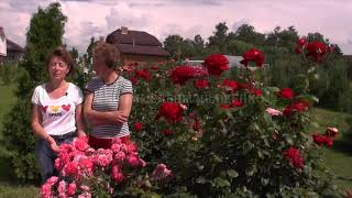 НАТАЛЬЯ ПЕТРЕНКО в Питомнике Роз Елены Иващенко. Цветение роз Розариум Ютерсен Супер Гранд Аморе