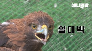 Golden Eagle Who's Been Carrying A Bullet In The Body For 8 Years