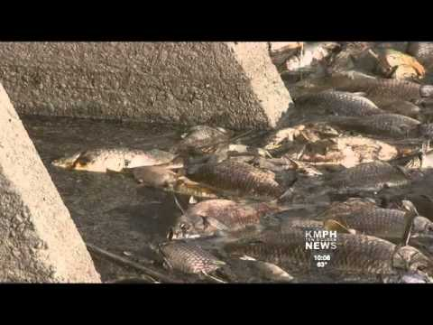 Dead Fish Found In Valley Canal