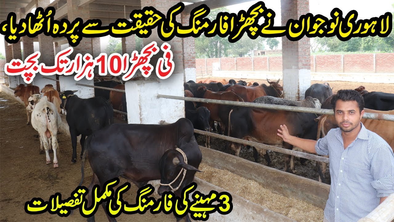 Kamran Cattle Farm Kasur   Calf Farming Complete Tips For 3 Months   Desi Calves Farming