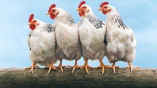 Как кормить кур, чтобы они хорошо неслись.