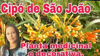 CIPÓ DE SÃO JOÃO, PLANTA MEDICINAL  E  DECORATIVA.