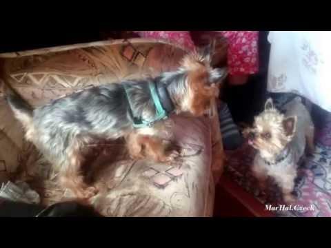 2x Yorkshire Terrier