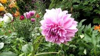 Dahlia Blooming in the Summer Garden