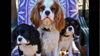 Cavalier King Charles Spaniel Photo Montage Empty Nesters 4/1/11 Day60