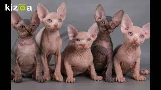 Слайд-шоу: Всё о породе кошек донской сфинкс