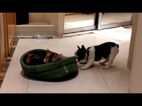 puppy-hilariously-attempts-to-reclaim-bed-from-sleepy-cat