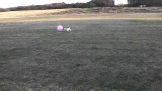 ボールを追いかけるのが、たまらなく好きな犬.