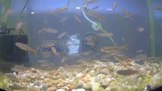 Preview of stream Salmon in Schools Livestream Tank