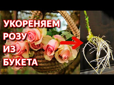 Укоренить любую розу! Надежный способ! 0+