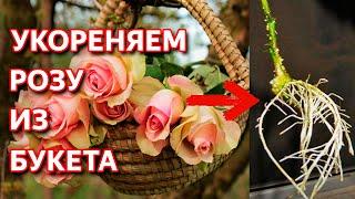 Надежный способ укоренить любую розу. 0+
