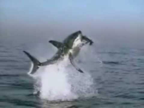 Squalo bianco salto assurdo youtube for Disegno squalo bianco
