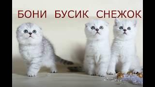 ЛУЧШИЕ ФОТО САМЫХ КРАСИВЫХ КОТЯТ В МИРЕ 😻 Милые Котята Скоттиш фолд и Скоттиш страйт Кошки Хлои