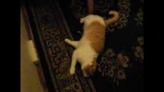 Кот выпил водки!