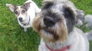 Schnauzer Harry & Jack Russell Jack Having A Whizz.