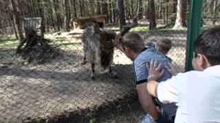 Винторогий козел против людей (на лыску)
