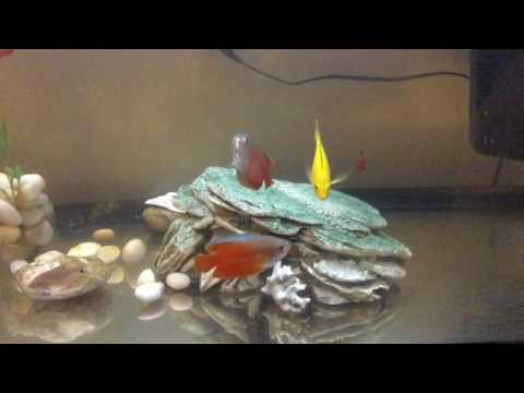 The cichlid and gourami are chasing and fighting each other!!!!!!!!!!!!!!!!!!!!!!!!!!!