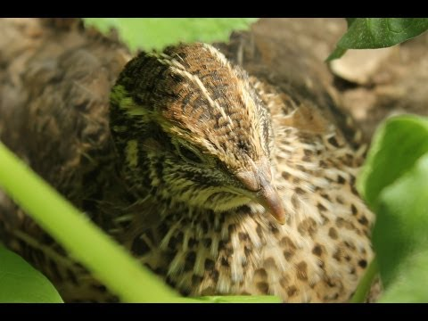 quail-overwintering-in-the-greenhouse.-organic-forest-gardening.-mes-cailles.-mis-codornices-.