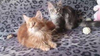 Котята мейнкун 5 месяцев