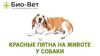 Красные пятна на животе у собаки. Ветеринарная клиника Био-Вет.
