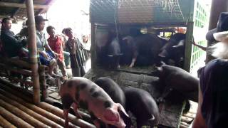 Pig Market in Rantepao, Sulawesi, Indonesia
