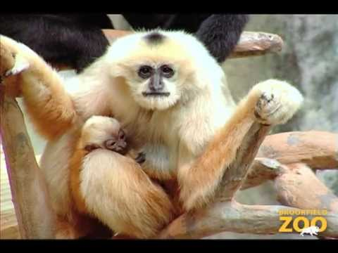 New Baby Gibbon at Brookfield Zoo - YouTube