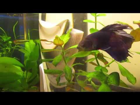 Betta Fish In Aqurium Planted Vase Youtube