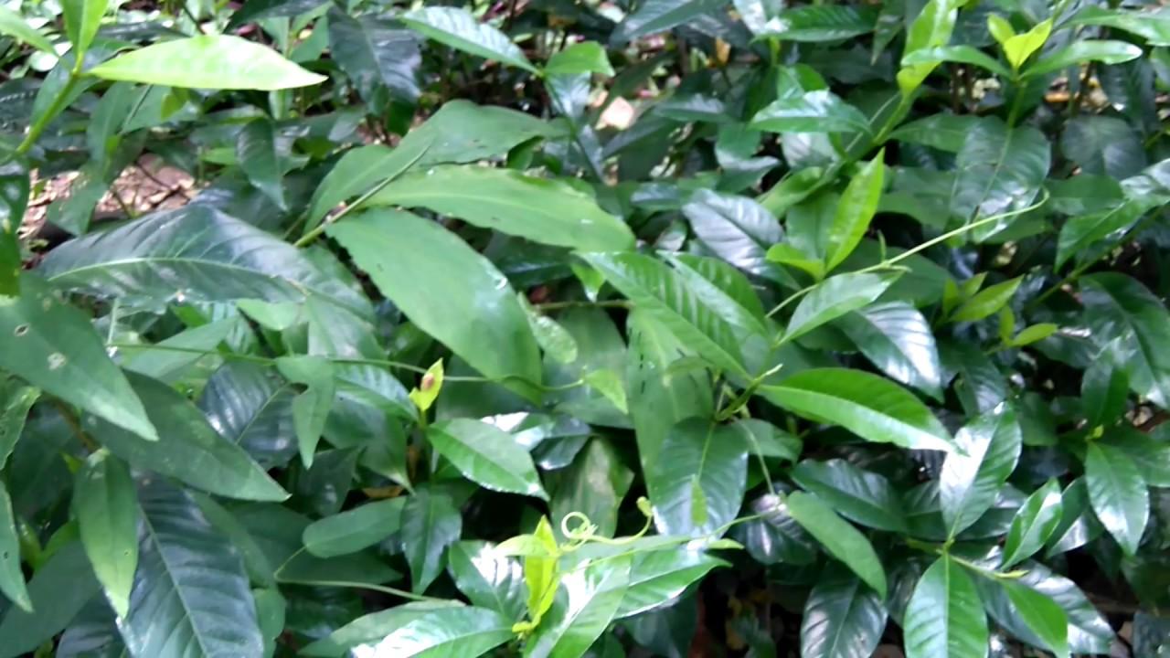 Gardenia plant cape jasmine plant gardenia augusta herb plant gardenia plant cape jasmine plant gardenia augusta herb plant izmirmasajfo