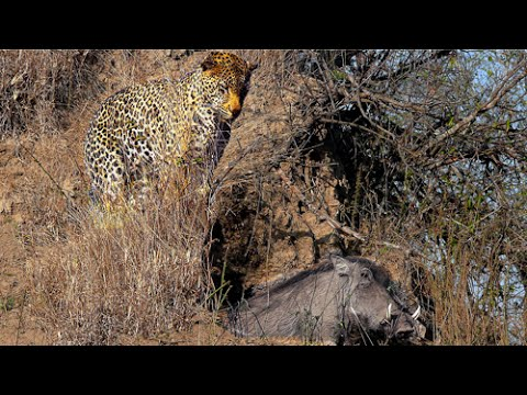 Leopard Kills Warthog In Its Burrow - Stealth At Its Best!