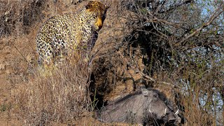 Leopard Kills Warthog in its Burrow - Stealth at its Best!