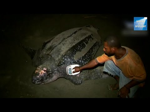 Species in the Spotlight: Pacific Leatherback Turtle Recovery