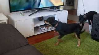 Kelpie puppies watch TV for the first time