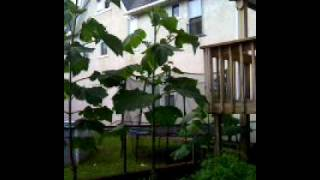 18 month old royal empress (paulownia) tree how to grow