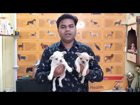 (Cheapest Dog Market) Cheapest Price French Bulldog Puppies Available In Delhi And India, 9711696640